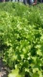 有機無農薬野菜1