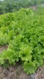 有機無農薬野菜3