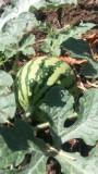 有機無農薬野菜5