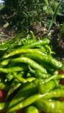 有機無農薬野菜12